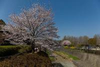 満開の桜とチュウリップのコラボ - あだっちゃんの花鳥風月
