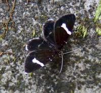 #チョウ目『白帯黒並尺蛾』Trichobaptria exsecuta - 自然感察 *nature feeling*