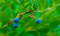 ブルーベリー狩り - 12か月・写真は楽しいですョ!