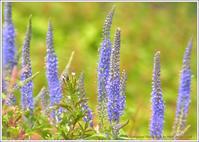 伊吹山お花畑に咲く花 - 野鳥の素顔 <野鳥と・・・他、日々の出来事>