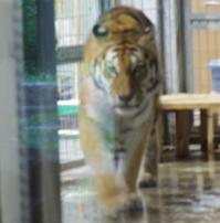 8月11日の円山動物園 - 黄金絹毛鼠(コガネキヌゲネズミ)