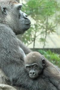 生れて10カ月のリキ君、5歳のモモカ姉ちゃんの裏技にびっくり(上野動物園) - 旅プラスの日記