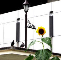 鳩と向日葵 - のんびり街さんぽ