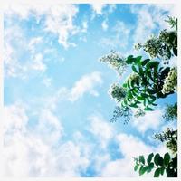 "p926 "" 百日草 "" 松の川緑道 2018年8月14日 - 侘び寂び"