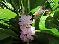 春ウコン - だんご虫の花