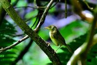ウグイス - ひげ親爺の探鳥日記