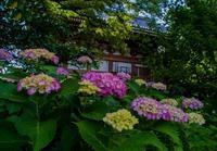 紫陽花ショット&私の雨の日の過ごし方投稿コンテスト - 鏡花水月