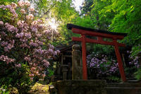 石楠花と牡丹咲く岡寺 - 花景色-K.W.C. PhotoBlog