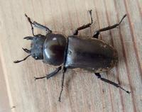 #甲虫『条鍬形』Dorcus striatipennis - 自然感察 *nature feeling*