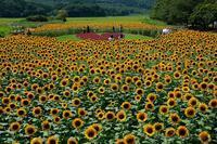 ひまわり畑 - デジタルで見ていた風景