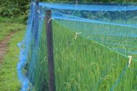 ■ シオカラトンボ 共食い   18.8.14 - 舞岡公園の自然2