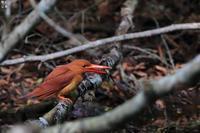 アカショウビンお食事中 - 野鳥公園