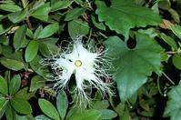 「キカラスウリ」と「カラスウリ」 - hebdo時季(とき)の花