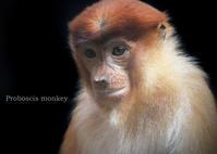 テングザル:Proboscis monkey - 動物園の住人たち写真展
