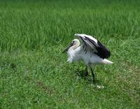 猛暑の中のコウノトリ、、 - ぶらり探鳥