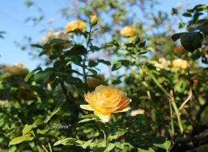 窓辺で楽しむ グラハムトーマス - miyorinの秘密のお庭
