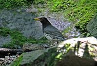・クロツグミ - 鳥見撮り