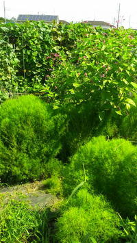 907)緑がいっぱいの畑。 - ミケの「畑へ行こう!」