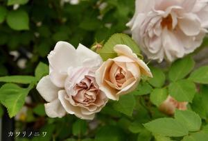 亜麻色の花弁 - カヲリノニワ