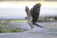 ツミ 準備運動 - 気まぐれ野鳥写真