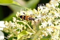 フタスジハナカミキリ - Insect walk
