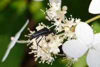 ヒゲジロハナカミキリ - Insect walk