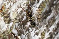 ツマキトラカミキリ 2 - Insect walk