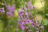 今日の向島百花園オミナイシとミソハギ - meの写真はザンス