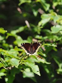 避暑を兼ねてキベリと遊ぶ - 蝶超天国