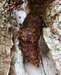 #チョウ目 『マイマイガ (舞舞蛾,』Lymantria dispar japonica - 自然感察 *nature feeling*