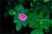 真夏の薔薇 - りゅう太のあしあと