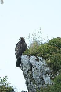 イヌワシ いつもの岩場で - 野鳥公園