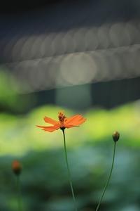 再び黄花コスモス - モノクロポートレート写真館