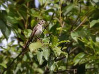 山麓のコサメビタキ - トドの野鳥日記