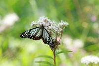 アサギマダラエネルギーを蓄えて - 蝶のいる風景blog