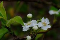 梨の花 - きずなの家