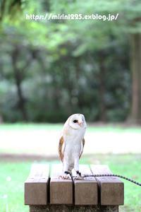 公園散歩~メンフクロウのミリンちゃん~ - メンフクロウと一緒~ミリン~