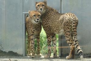 ネコ好きにはたまりません。7ヵ月ぶりにアイガー、ジョラス、  クラリスと再会しました(多摩動物園) - 旅プラスの日記