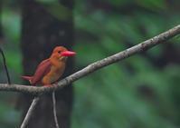 遠征アカショウビン6 - 今日も鳥撮り