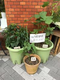 8月江戸野菜の実 - 花藤ブログ