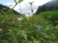 白いツユクサ - オバサンが行く ヒマラヤの青いけしの旅/改め   時々蔵王の花たち