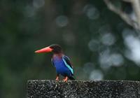 ジャワショウビン - 可愛い野鳥たち 2