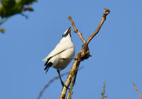 カンムリシロムク - 可愛い野鳥たち 2