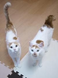 猫のお留守番 開くん咲くん編。 - ゆきねこ猫家族