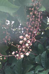 サガリバナ - natural essence : EKO PROJECT