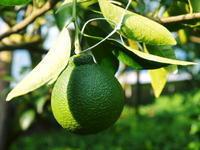 デコポン(肥後ポン) 果実の成長と元気な夏芽 匠の管理で樹勢もバッチリです! - FLCパートナーズストア