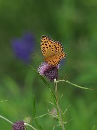 各種の夏のチョウ - 蝶超天国