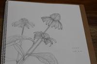 エキナセア写生 - 絵と庭