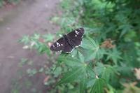 ■セセリチョウ 2種18.8.16(ダイミョウセセリ、イチモンジセセリ) - 舞岡公園の自然2