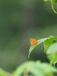 ムモンアカシジミ - 自然を楽しむ